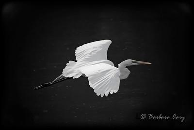 white egret_IMG_9965_7858