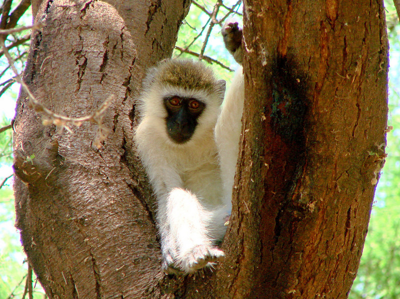 Vervet Monkey, studing the tourists, Lake Manyara