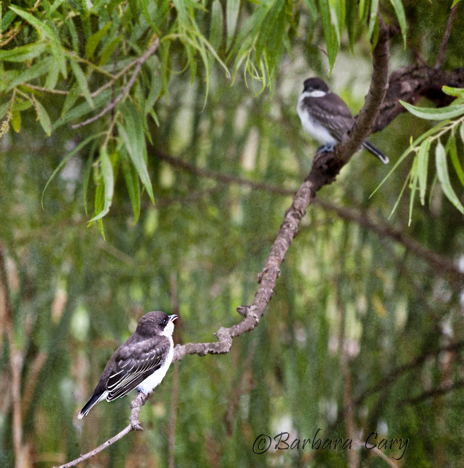 Eastern kingbird_Horseshoe Lake 7 4_5855