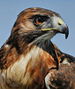Cisco, a handsome and celebrated Red-tailed Hawk trained and managed by Chuck Redding, 3-13-10. A past issue of Texas Parks and Wildlife featured a beautiful photo of Cisco on the cover.