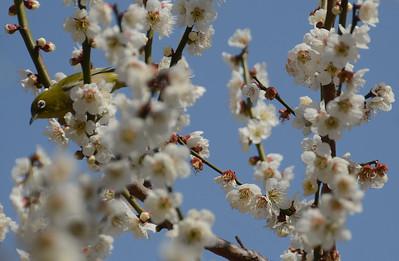 Plum blossoms at Yushima shrine, Tokyo.