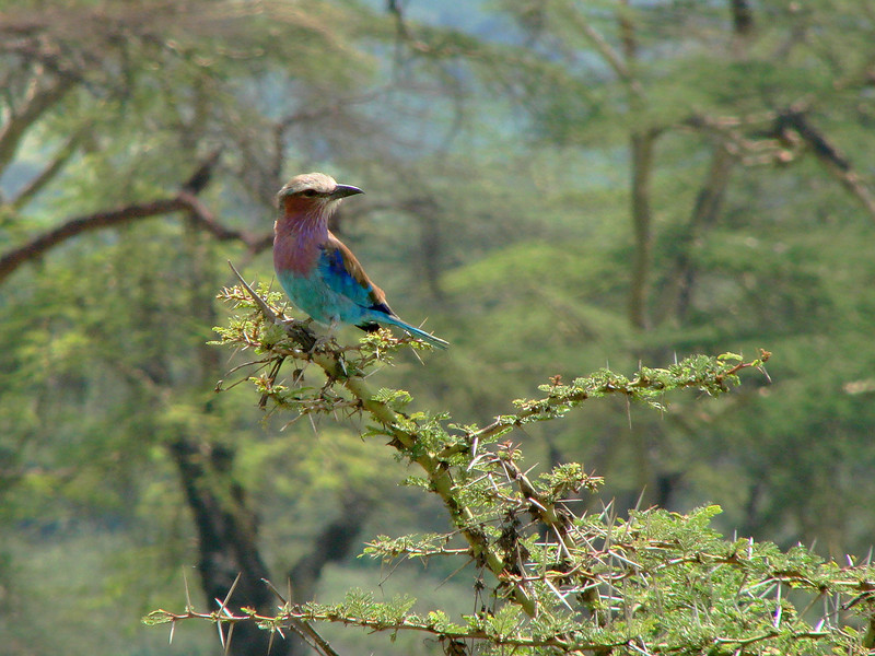 Lilac-Breasted Roller; Ngorongoro Crater