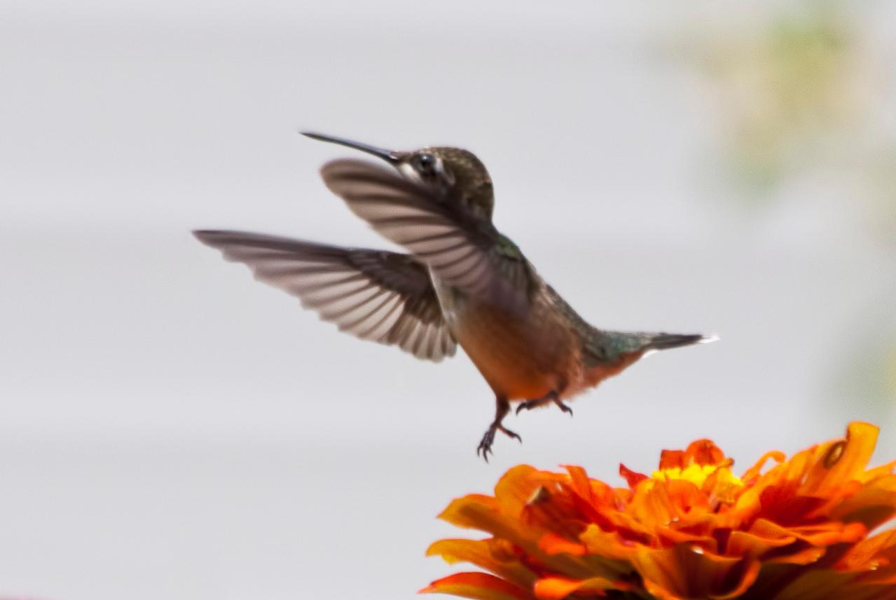 hummingbird_IMG_1328_3107-2