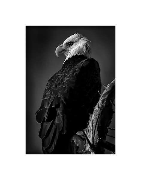 Colorado Bald Eagle