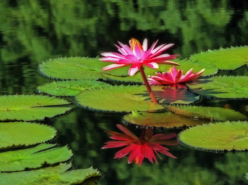 Water lily taken at Missouri Botanical Gardens.
