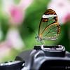 Glaswing Butterfly