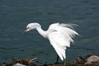 white egret_IMG_9917