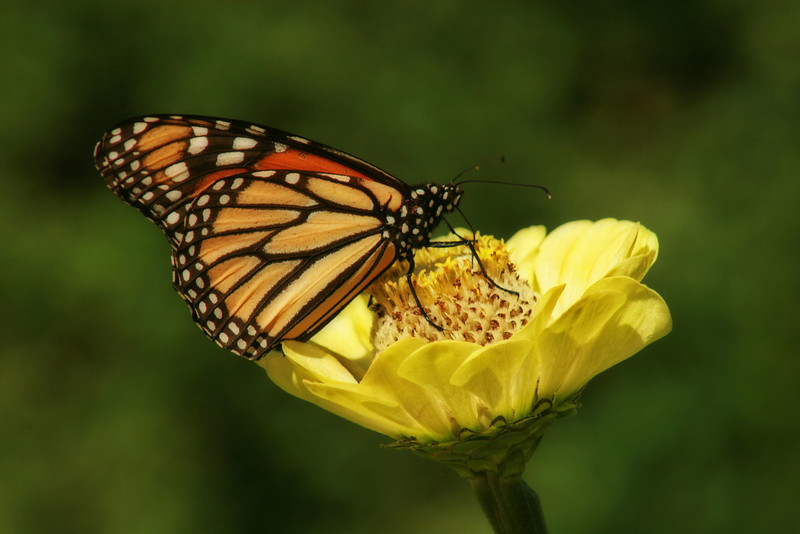 Monarch butterfly feeding on a yellow zinnia