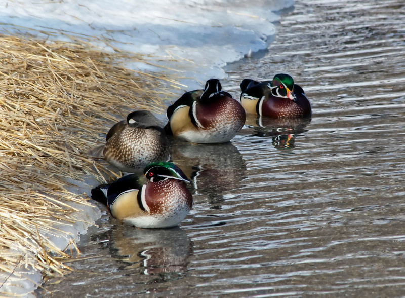 wood duck_Zoo 180