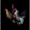 Swedish Roosters near Varberg Sweden