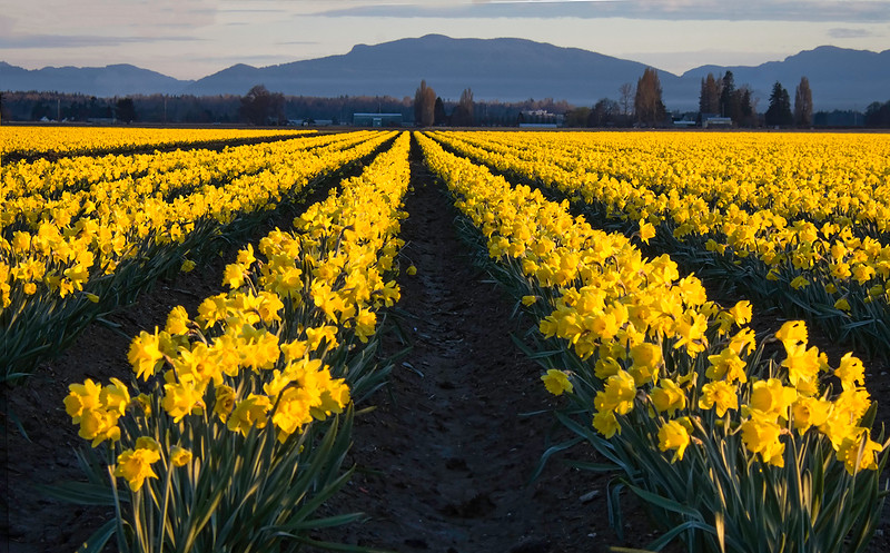 Skagit Valley Daffodills