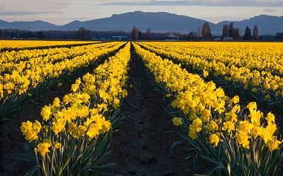 Skagit Valley Daffodills