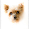 Polly Pocket our Yorkshire Terrier