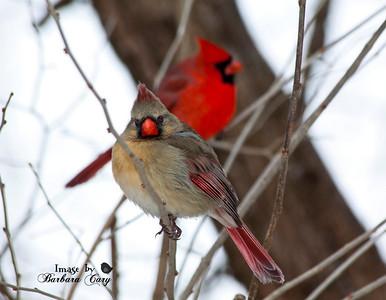 2 cardinals_Birds 158-2