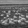 Just Passing Through Snow Geese