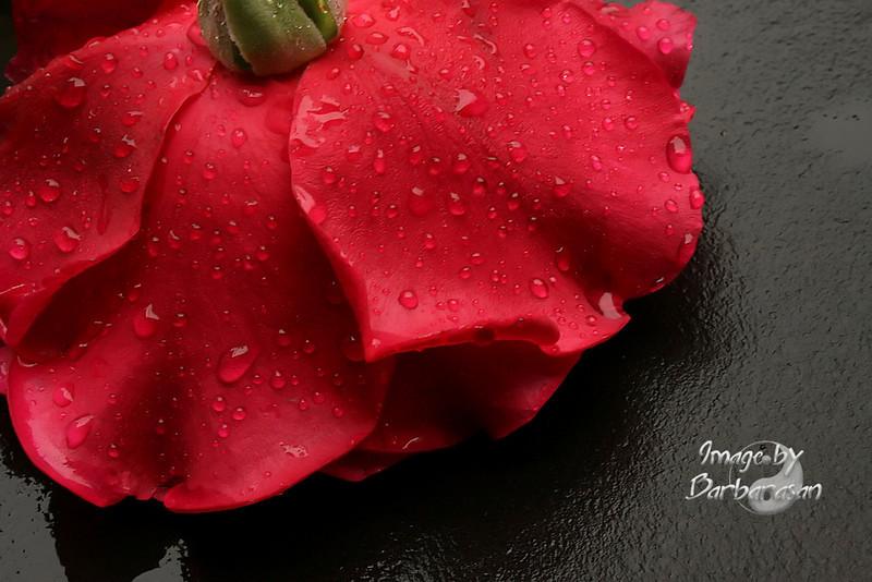 red_rose_IMG_7904