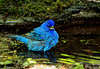 Indigo Bunting, High Island. Flash assist to natural light, taken late in the afternoon.