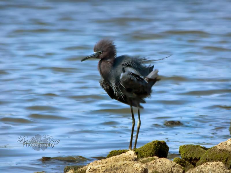 little  blue heron_Horseshoe Lake_1539_6 6