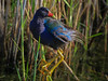 a Purple Gallinule in early morning light at Anahuac NWR, coastal Texas.