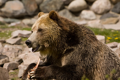 This grizzly bear was photographed in the bear and wolf preserve in West Yellowstone