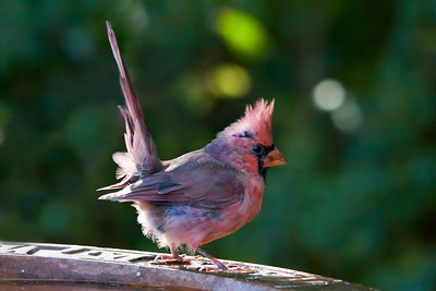 I'm guessing by his feathers, this cardinal was born this spring. He sure had a kick-ass attitude!!