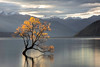 Lost Tree - Wanaka, New Zealand