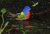 Painted Bunting, High Island, April 2011.