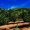 Vineyard, Umpqua Valley Oregon