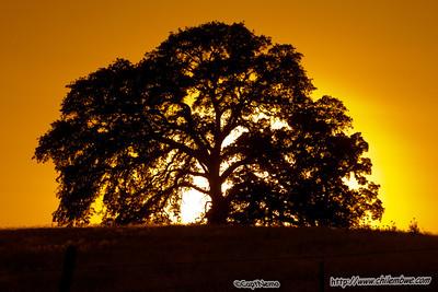 Oak tree near Ione, California.