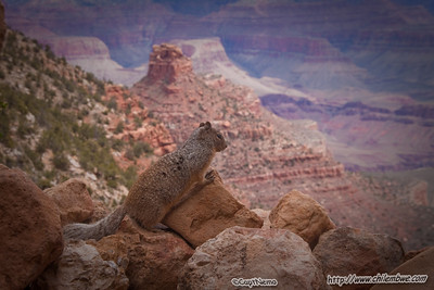 Ground squirrel in the Grand Canyon.