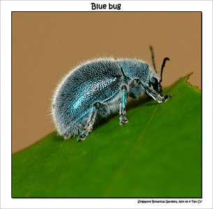 Blue Bug_filtered
