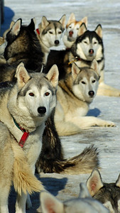 """Photo a Day for a Year"": Saturday January 30 2010, 11:26am  ...Dog sled races at Mac Johnson wildlife area, more photos in my ""Animals"" gallery; http://kharephotos.smugmug.com/Animals/Dog-Sled-Races/11100226_eErro"