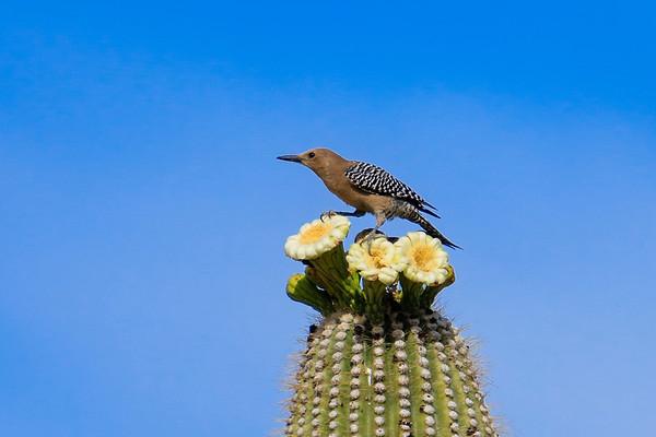 Saguaro NP-27