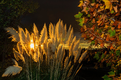 Pampas Grass Sunrise-10