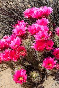 Saguaro NP-23