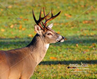 Deer, Berry College, Mount Berry, GA_16