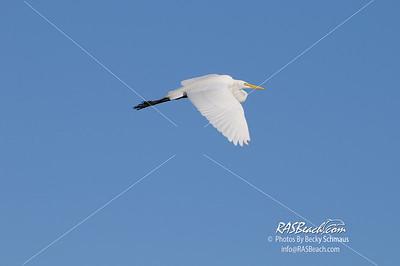 Great White Egret_312