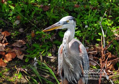 Great Blue Heron_020