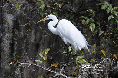 Great White Egret_164C