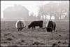 Scottish Highland cows - Fermilab - entered 2009
