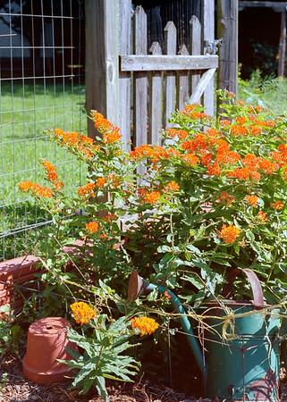 butterfly_weed-ek1-t3208