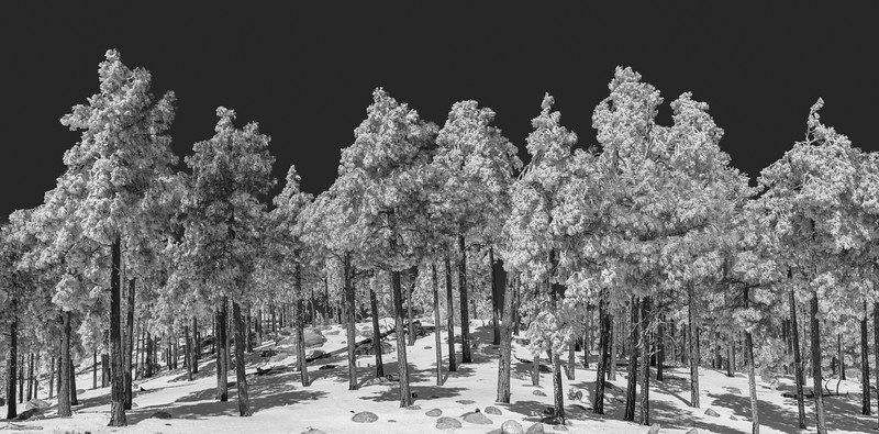 Fresh Snow in the Pines, Mt. Lemmon
