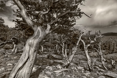 Bristlecone Pine Study