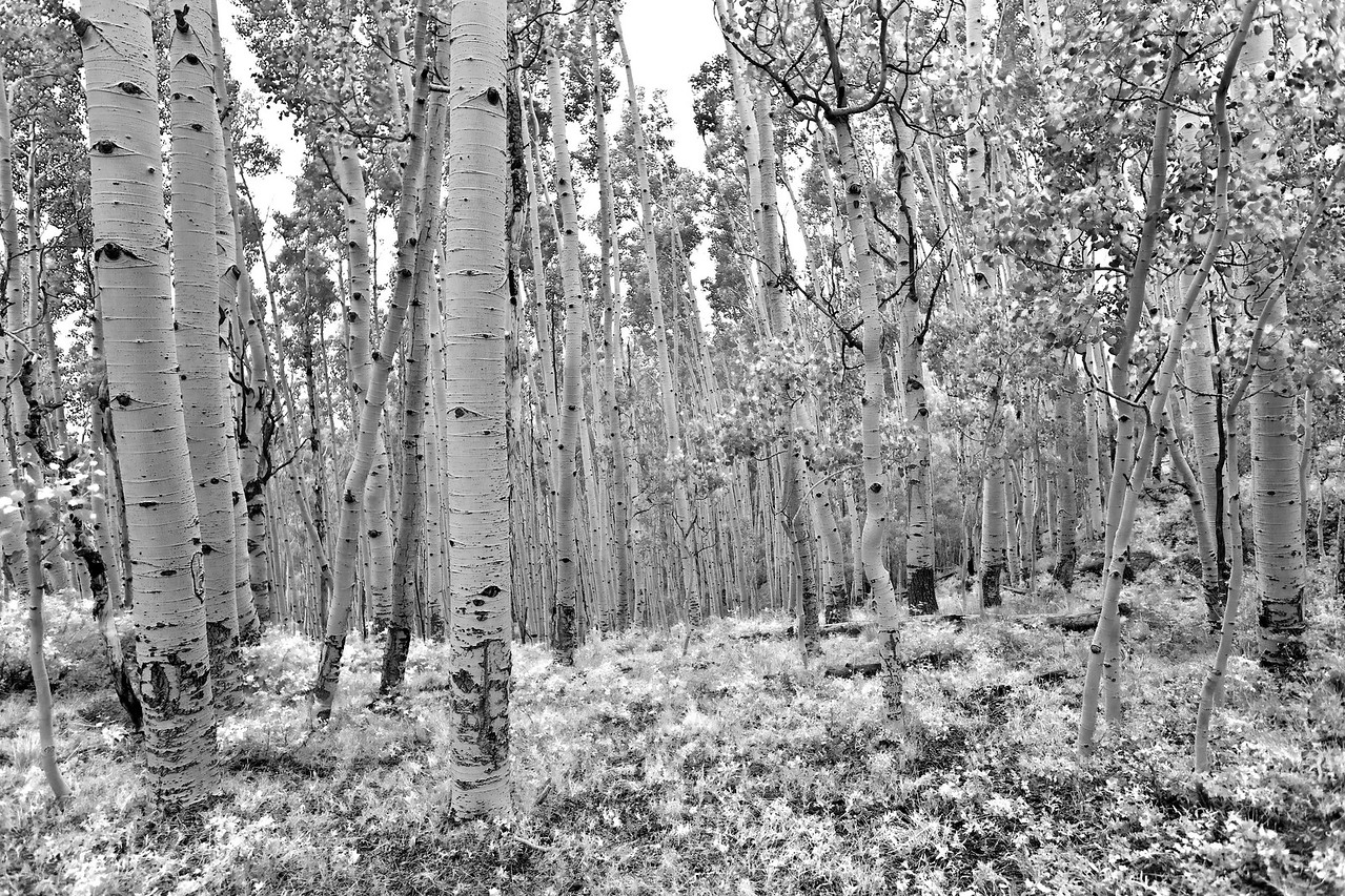 Aspen Grove - Dixie National Forest - Utah
