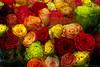 Rose Impressions