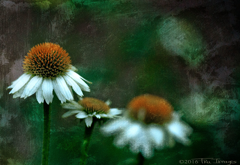 Coneflower Impressions