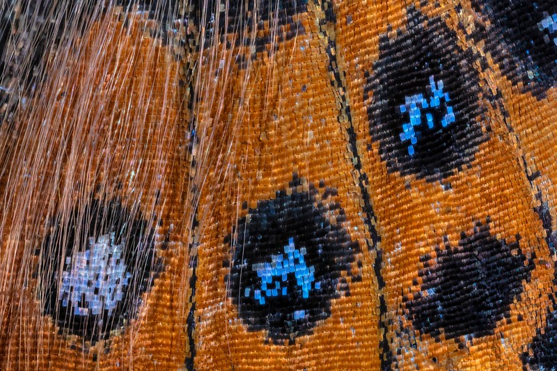 Painted Lady Butterfly Wing - Vanessa cardui