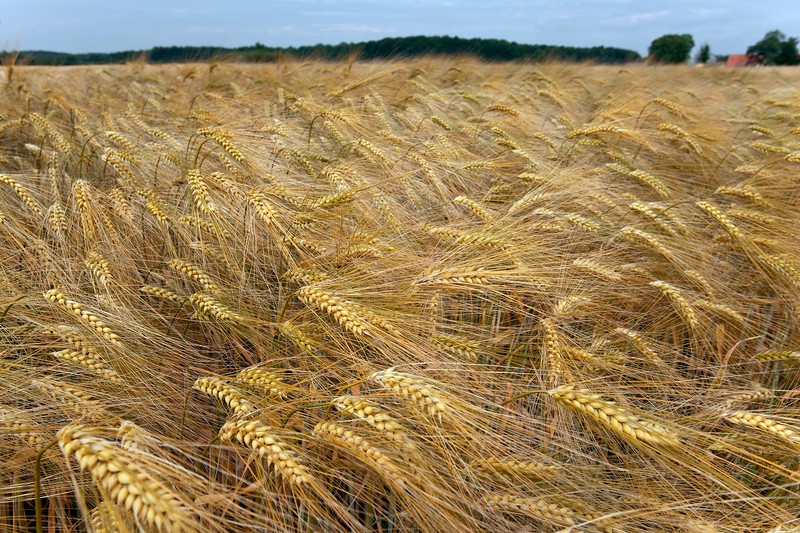 Danish Wheat Field