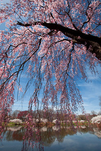 Cherry Blossoms, Branch Brook Park, New Jersey
