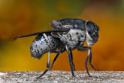 Botfly, Cuterebra arizonae